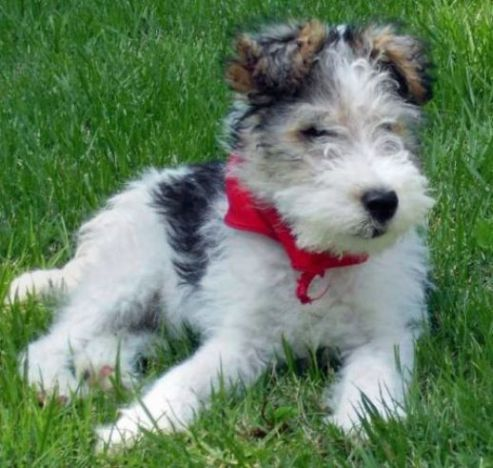Fox terrier B BV IS CT GL